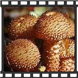 ядовитые грибы приморья фото и название